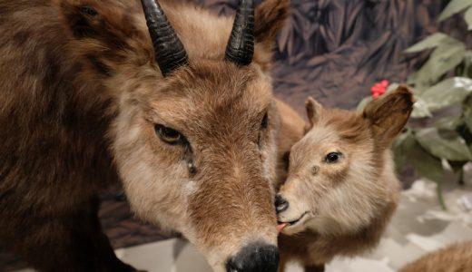 """長野県大町市「大町山岳博物館」の今にも動き出しそうな""""動物の剥製""""がヤバい!"""