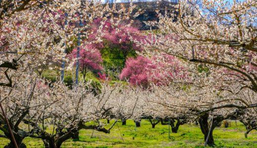 春のやわらかな色彩で塗りつぶせ!梅の花咲く信州新町「琅鶴(ろうかく)梅園」