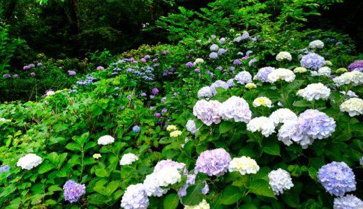 ゆううつな梅雨の季節に広がる鮮やかな色彩!長野県中野市「釜上地蔵」の紫陽花(あじさい)