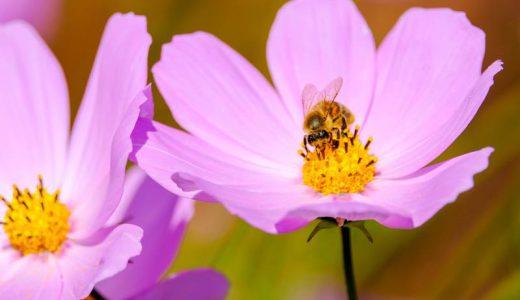 ゲレンデの斜面に約50品種100万本ものコスモスが咲き誇る!長野県信濃町の「黒姫高原コスモス園」