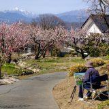 アンズの花って見たことある?長野県千曲市「あんずの里」を散歩して「あんずソフトクリーム」