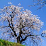 胸いっぱいに新鮮な空気を吸い込みたい!長野県長野市「光林寺のしだれ桜」をレポート
