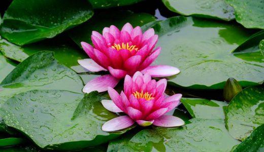 雨の中で咲き誇る花から自然のパワーを受け取る!?長野県安曇野市・室山アグリパークの睡蓮